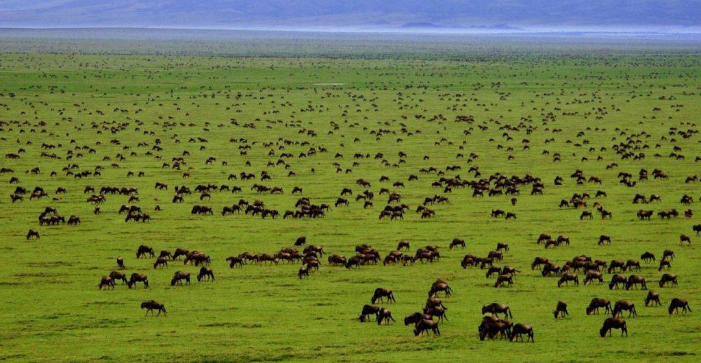 The Serengeti Wildebeest Migration